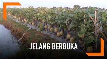 Petani melon di Pati, Jawa Tengah menawarkan kebunnya sebagai tempat untuk ngebuburit. Pengunjung juga diperbolehkan untuk memetik melon untuk dimakan saat berbuka puasa.