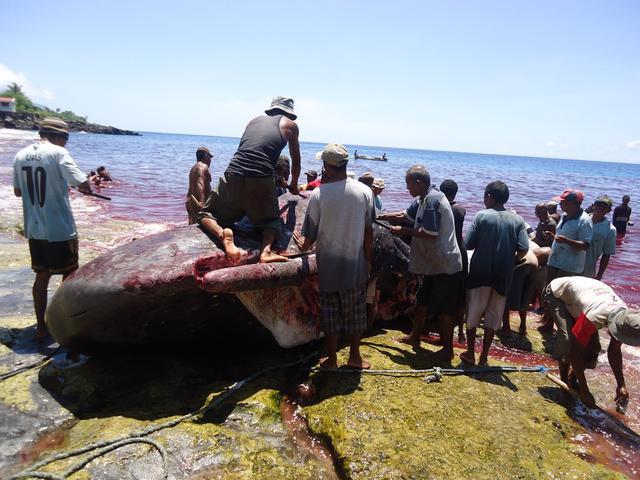 Pagi itu, nelayan Lamalera hendak mengadakan perburuan terhadap ikan Paus yang merupakan bagian dari tradisi lokal warga setempat yang diwariskan sejak zaman dahulu kala dari leluhur mereka.
