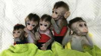 Foto yang dirilis 24 Januari 2019, lima monyet yang dikloning di sebuah lembaga penelitian di Shanghai. Ilmuwan Cina menciptakan monyet kloning, yang gennya telah diedit untuk membawa penyakit. (HO/CHINESE ACADEMY OF SCIENCES INST/AFP)