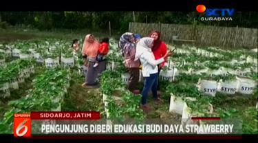 Agrowisata petik buah strawberry ini, terletak di Desa Sumbermujur, Kecamatan Candipuro atau sekitar 15 km dari pusat Kota Lumajang
