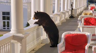 Seekor beruang hitam mengintip dari pagar beranda Omni Mount Washington Resort, New Hampshire, Amerika Serikat, Sabtu (29/7/2019). Keberadaan beruang itu pertama kali diketahui oleh pegawai hotel saat dia hendak mengambil gambar matahari terbit. (Sam Geesaman/Omni Mount Washington Resort via AP)