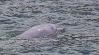 Foto yang diambil pada 20 September 2020 ini menunjukkan lumba-lumba putih China, yang juga dikenal secara lokal sebagai 'lumba-lumba merah muda', berenang di perairan lepas pantai Hong Kong. (MAY JAMES / AFP)