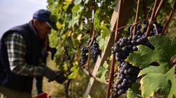 Seorang petani memetik anggur Nebbiolo, yang digunakan untuk membuat wine Barolo, selama panen di Barolo, Laghe Country side dekat Turin, Italia barat laut (14/9/2019). (AFP Photo/Marco Bertorello)