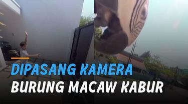 Seekor burung macaw kabur dari rumah ketika hendak dipasang kamera namun tidak nyaman.