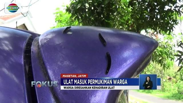 Memasuki musim penghujan, permukiman warga Desa Baleasri, Kecamatan Ngariboyo, Magetan, Jawa Timur, diserbu ulat-ulat. Kehadiran hama tersebut mengganggu aktivitas warga.