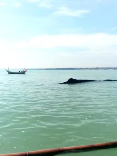 paus terdampar di perairan Tuban