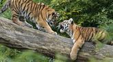 Harimau Siberia kecil Kasimir dan Kalinka bermain di batang pohon di kebun binatang di Duisburg, Jerman, Senin (25/10/2021). Anak harimau kembar lahir pada bulan Mei dan menikmati musim gugur pertama mereka di kandang dekat dengan alam di kebun binatang . (AP Photo/Martin Meissner)
