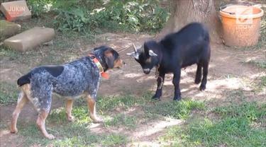 Seekor anjing terus menyalak pada kambing bernama 'Billy' hingga membuatnya emosi dan terjadi perkelahian.