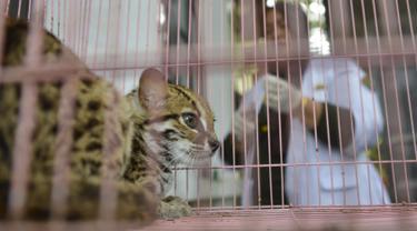Macan akar atau kucing hutan hasil sitaan berada dalam kandang Balai Konservasi Sumber Daya Alam (BKSDA) Aceh di Banda Aceh, Kamis (26/9/2019). BKSDA Aceh menyita macan akar, burung elang tikus dan rangkong badak yang merupakan satwa langka dan dilindungi peliharaan warga. (CHAIDEER MAHYUDDIN/AFP)