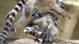Seekor lemur melompati lemur lain yang sedang memakan es buah beku pada hari yang panas di kebun binatang Roma, Italia, Selasa (25/6/2019). Suhu tertinggi yang berkisar 37 sampai 40 derajat Celsius diperkirakan terjadi di wilayah Italia utara dan tengah. (AP Photo/Andrew Medichini)
