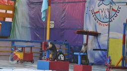 Atraksi berang-berang di depan sejumlah penonton saat pertunjukan sirkus keliling di Kota Depok, Jawa Barat, Minggu (31/5/2015). Pertunjukan tersebut digelar hingga 14 Juni mendatang, dengan tarif antara Rp35ribu-Rp50ribu. (Liputan6.com/Herman Zakharia)
