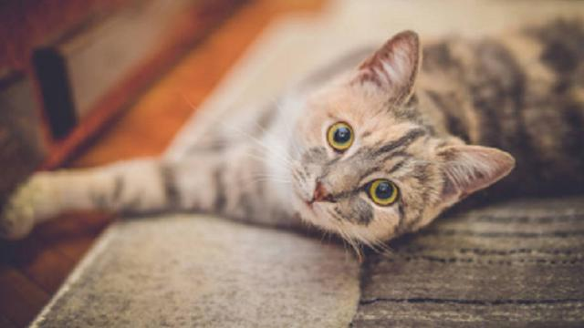 Ilustrasi kucing (iStock)