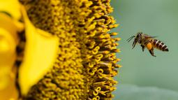 Seekor lebah mendarat di atas bunga matahari di taman bunga matahari di Bagan Datuk di negara bagian Perak Malaysia (17/3/2021). Keindahan flora berwarna terang itu dapat dinikmati di ladang seluas 0.8 hektar tersebut.  (AFP/Mohd Rasfan)