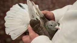 John Watson memeriksa burung merpati yang baru dibeli dalam acara tahunan British Homing World Show di Blackpool, Minggu (20/1). Setiap Januari, sekitar 15.000 orang berkumpul pada pertemuan peternak merpati terbesar di Inggris tersebut. (OLI SCARFF/AFP)