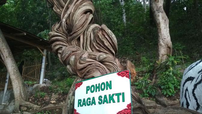 Kisah Pohon Raga Sakti Penjaga Situs Cimandung Cirebon Desa Krandon Kecamatan Talun Kabupaten Cirebon diyakini sebagai penjaga situs. Foto (Liputan6.com / Panji Prayitno)