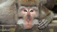 Kera ekor panjang/Macaca fascicularis. (fr.mongabay.com/Rhett A. Butler)