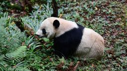 Tingkah panda raksasa bernama Bei Bei pada hari pertama berada dalam kandangnya di Bifengxia Panda Base di Yaan, Provinsi Sichuan, China, Kamis (21/11/2019). Bei Bei dipulangkan ke China karena setiap panda yang lahir di Kebun Binatang Washington DC harus dipulangkan pada umur 4 tahun. (STR/AFP)