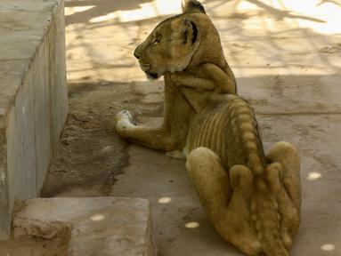 Singa betina kurang gizi duduk dalam kandang di Taman Al-Qureshi, ibu Kota Sudan di Khartoum pada 19 Januari 2020. Kampanye media sosial diluncurkan untuk menyelamatkan lima singa Afrika dari kelaparan setelah berminggu-minggu tidak mendapatkan makanan dan obat-obatan cukup. (ASHRAF SHAZLY/AFP)