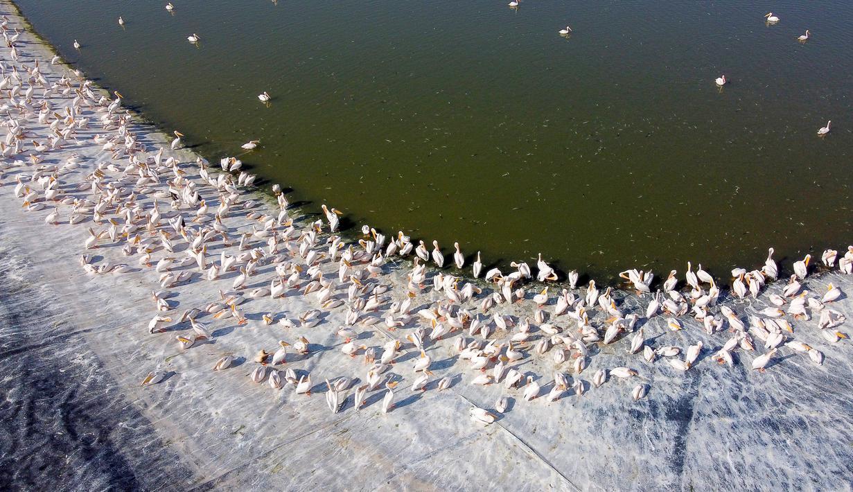 Pelikan jenis Great White digambarkan di waduk di Mishmar HaSharon, kota Tel Aviv, Israel bagian utara pada 19 November 2020. Ribuan pelikan bermigrasi melewati Israel dalam perjalanan mereka ke Afrika kemudian kembali ke Eropa pada musim panas. (Photo by JACK GUEZ / AFP)