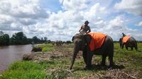Pawang gajah saat bermain bersama Gajah Sumatera (Liputan6.com / Nefri Inge)