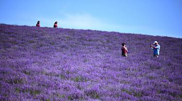 Seorang pria mengambil gambar di ladang lavender di Sale San Giovanni, Cuneo, Italia, 29 Juni 2021. Bunga lavender bermekaran menyajikan pemandangan yang indah. (MARCO BERTORELLO/AFP)