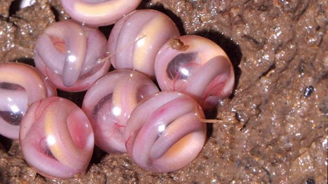 Telur Caecilian. (SD Biju/frogindia.org)