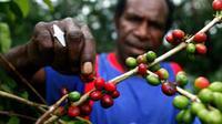 Petani memetik buah kopi Arabika di kampung Wouma, Wamena, Papua. Kopi Arabika dari Wamena ini telah di ekspor ke Amerika Serikat dan Australia.(Antara)