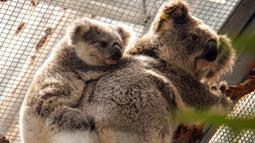 Dua Koala terlihat di tempat penampungan sementara di Kebun Binatang Taronga di Sydney (17/12/2019). Koala-koala itu dipindahkan ke Kebun Binatang Taronga Sydney. Mereka akan berada di sana sampai aman sebelum dikembalikan ke alam liar. (AFP/Taronga Zoo)