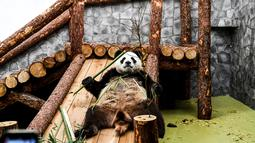 Panda raksasa (ailuropoda melanoleuca) memegangi bambu bermain di Kebun Binatang Moskow, Rusia, Sabtu (13/7/2019). (Kirill KUDRYAVTSEV/AFP)