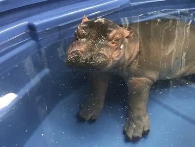 Seekor bayi kuda nil berendam dikolam di kebun binatang  Cincinnati, Ohio, AS (23/3). Bayi kuda nil ini  lahir pada Januari lalu secara prematur, dan diberi nama Fiona. (Angela Hatke / Cincinnati Zoo & Botanical Garden via AP)
