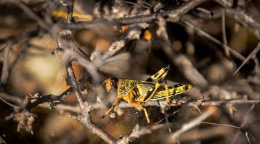 Pada 4 Februari 2020, belalang gurun muda yang belum menumbuhkan sayap terjebak di jaring laba-laba di semak berduri di gurun dekat Garowe, di wilayah Puntland, Somalia.