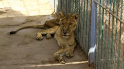Singa betina kurang gizi duduk dalam kandang di Taman Al-Qureshi, ibu Kota Sudan di Khartoum pada 19 Januari 2020. Penduduk Khartoum, para sukarelawan dan wartawan mengunjungi taman itu untuk melihat sendiri kondisi singa-singa setelah foto-foto singa viral di media sosial. (ASHRAF SHAZLY/AFP)