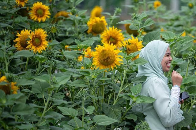 Seorang wanita Muslim berpose dengan bunga matahari di taman bunga matahari di Bagan Datuk, Malaysia (17/3/2021). Keindahan flora berwarna terang itu dapat dinikmati di ladang seluas 0.8 hektar tersebut.  (AFP/Mohd Rasfan)