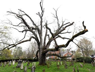 Pohon Oak Berusia 600 Tahun ini Akhirnya Mati