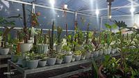 Salah satu jenis tanaman hias Alocasia dengan ciri berbunga rhizomatous dan berdaun lebar dari keluarga Araceae dari Sulut berhasil diekspor ke Jerman.