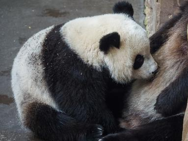 Yuan Meng merupakan anak panda pertama yang lahir di Prancis pada 2017 lalu. (GUILLAUME SOUVANT / AFP)