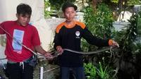King kobra 2,5 meter yang ditemukan di Jalan Taman Katalia Selatan, Kota Bambu Selatan, Palmerah, Jakarta Barat. (dok Erwandi Supriadi)
