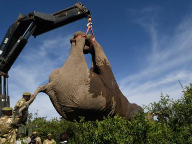 Petugas Kenya Wildlife Service (KWS) mengangkat gajah menggunakan crane di Lamuria, Nyeri, Kenya, Rabu (21/2). Pejabat Kenya menyatakan merelokasi 30 gajah dari Solio, Sangare, dan Lewa ke utara Taman Nasional Tsavo di Ithumba. (AFP PHOTO/SIMON MAINA)