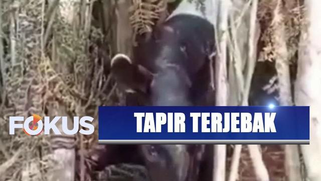 Keluar hutan diduga karena terpapar kabut asap, seekor tapir terlilit kawat baja di kebun sawit Riau.