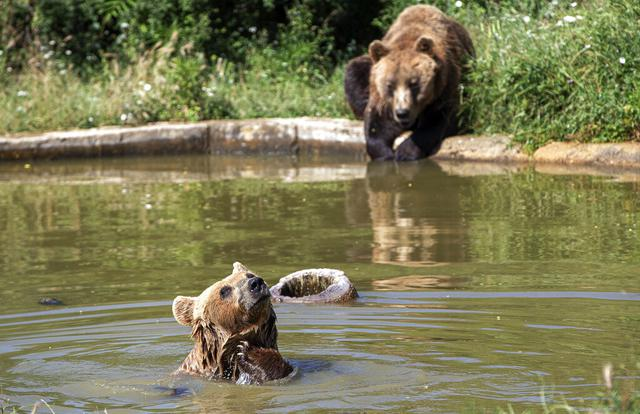 Beruang cokelat Hana (depan) dan Mali mendinginkan diri di kolam air di Bear Sanctuary Pristina, Kosovo, Kamis (8/7/2021). Warga di Eropa timur yang tidak terbiasa dengan suhu tinggi sedang berjuang untuk mengatasi gelombang panas yang melanda seluruh wilayah. (AP Photo/Visar Kryeziu)