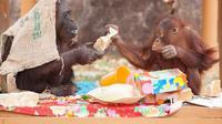 Orang utan tertua di dunia, Gypsy Chan, baru saja merayakan ulang tahunnya yang ke-62 di Kebun Binatang Tama di Tokyo