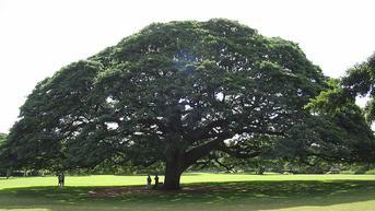 Pohon Hitachi, Simbol Perusahaan Jepang yang Tumbuh di Hawaii