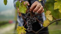 Seorang petani memetik anggur Nebbiolo, yang digunakan untuk membuat wine Barolo, selama panen di Barolo, Laghe Country side dekat Turin, Italia (14/9/2019). Anggur ini terkenal karena kemampuannya menua dan biasanya berwarna merah saat matang. (AFP Photo/Marco Bertorello)