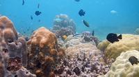 Tak banyak yang tahu jika di kawasan pesisir Kabupaten Kutai Kartanegara terdapat puluhan spot terumbu karang yang indah. (foto: istimewa)