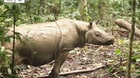 Pahu, badak kalimantan yang masih berkerabat dekat dengan badak Sumatera saat ini berada dalam perlindungan Rescue Badak Kalimantan. (foto: Liputan6.com / newsbalikpapan.com)
