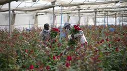 Pekerja pertanian membawa mawar yang dipilih untuk Festival Sant Jordi di Santa Susanna, dekat Barcelona, Spanyol, Selasa (20/4/2021). Saat Festival Sant Jordi, pria akan memberi mawar kepada wanita dan wanita akan memberi buku kepada pria. (Josep LAGO/AFP)