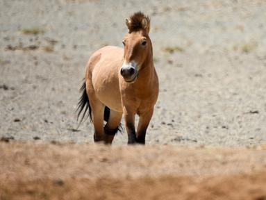 Seekor kuda Przewalski terlihat di Cagar Alam Kalamayli, Daerah Otonom Uighur Xinjiang, China barat laut, pada 3 Juni 2020. (Xinhua/Ding Lei)