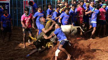 Seorang peserta India mencoba menaklukkan seekor banteng di festival tahunan menjinakkan banteng, Jallikattu, di Desa Avaniyapuram di pinggiran Madurai, Negara Bagian Tamil Nadu, India, pada 15 Januari 2020. (Xinhua/Stringer)