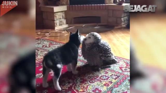 Dari anak anjing dan burung hantu ini kita dapat belajar arti persahabatan.