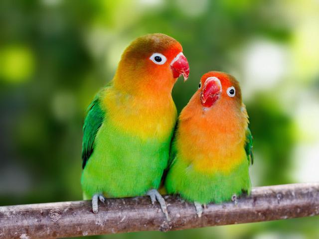 Ciri Lovebird Jantan Dilihat Dari Fisik Dan Perilakunya Hot Liputan6 Com